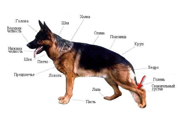 Собака беспокойно ведет себя: мечется, трясется, отказывается от еды, часто дышит, поджимает хвост, что делать, как успокоить собаку