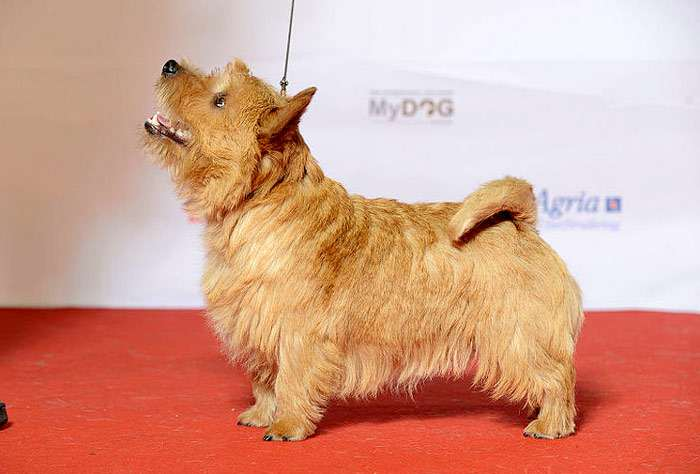 Норвич (норидж) терьер: характеристика и описание породы собаки, правила содержания и дрессировка