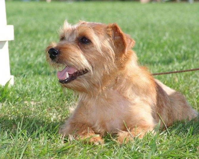 Описание породы собак норвич терьер с отзывами владельцев и фото