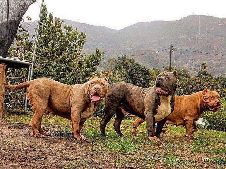 Порода собак австралийский бандог - описание, характер, характеристика, фото австралийских бандогов и видео, цена
