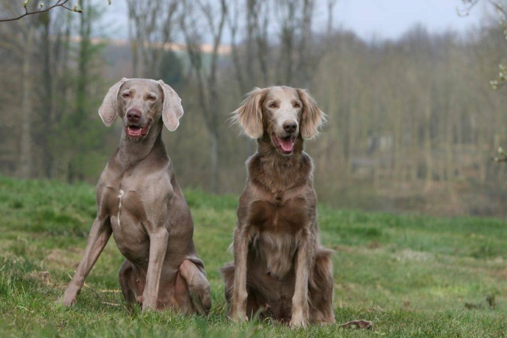 Веймаранер – описание породы: характеристика собаки, как выбрать
