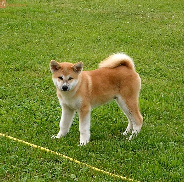 Щенки акита-ину: описание по месяцам, рацион и воспитание молодых собак, цены на них в россии и японии