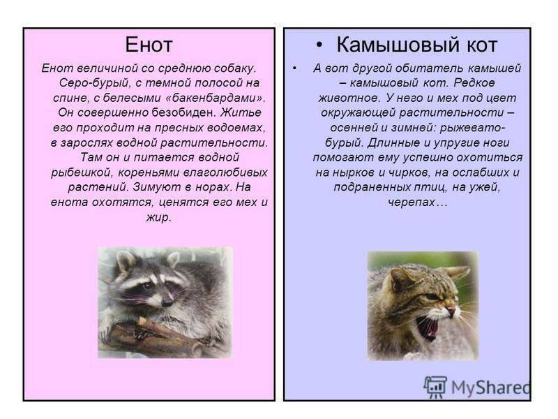 Енотовидная собака или уссурийский енот