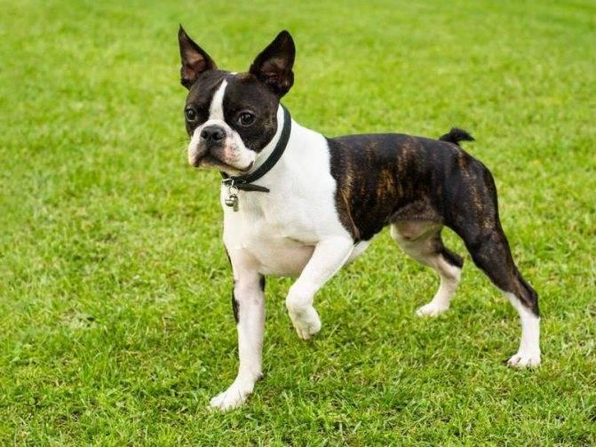 Популярыне породы собак компаньоны, их названия и фото