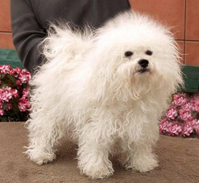 Болоньез: итальянская болонка, великолепная порода собак для дома
