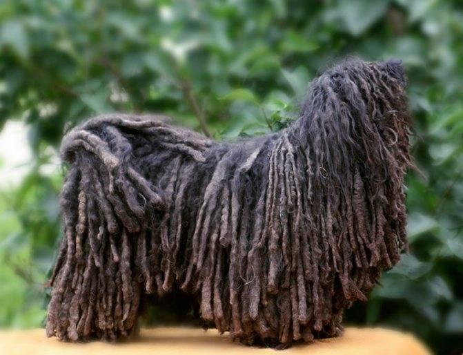 Собака с дредами порода