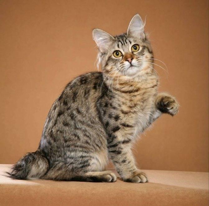 Описание и характер кошек породы японский бобтейл, уход за ними