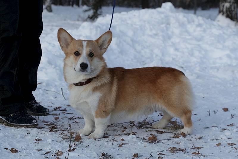 Как правильно выбрать щенка вельш-корги и как ухаживать для его полноценного развития
