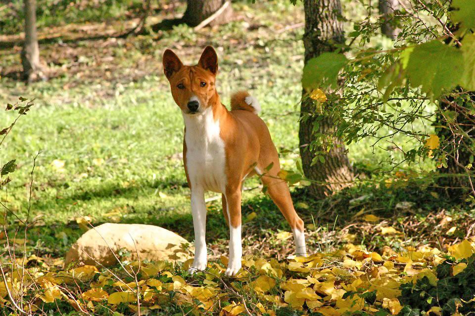Басенджи (африканская нелающая собака): описание породы и особенности характера, содержание и уход