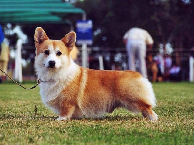 Похожий на лису, описание пород собак напоминающих лис внешностью и повадками