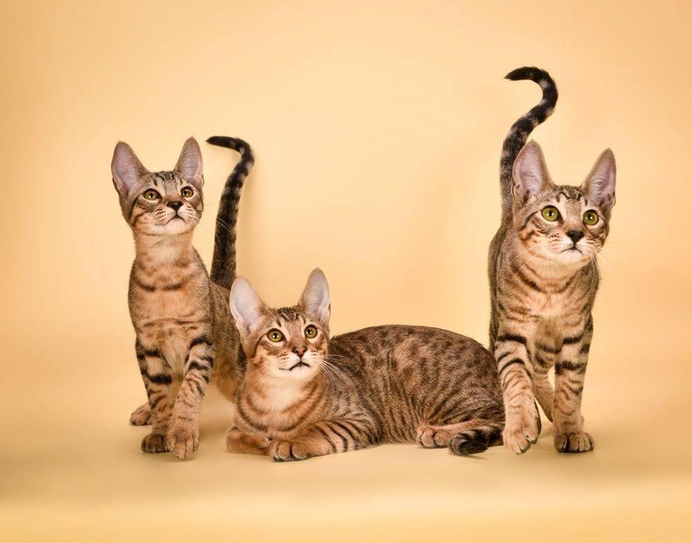 Какая порода у кошек с загнутыми ушками — книга о собаках