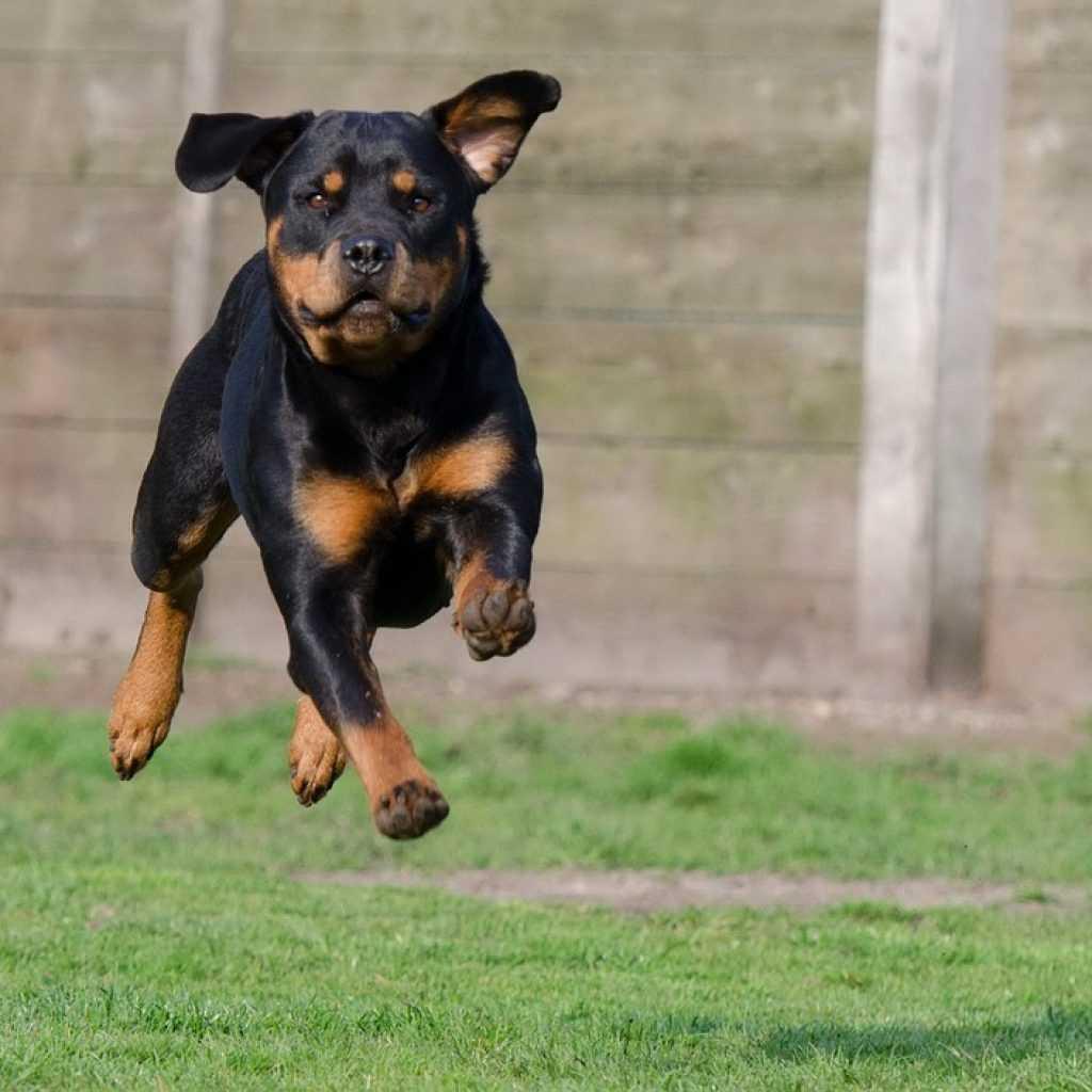 Топ-10 лучших пород для травли животных и боев с другими собаками