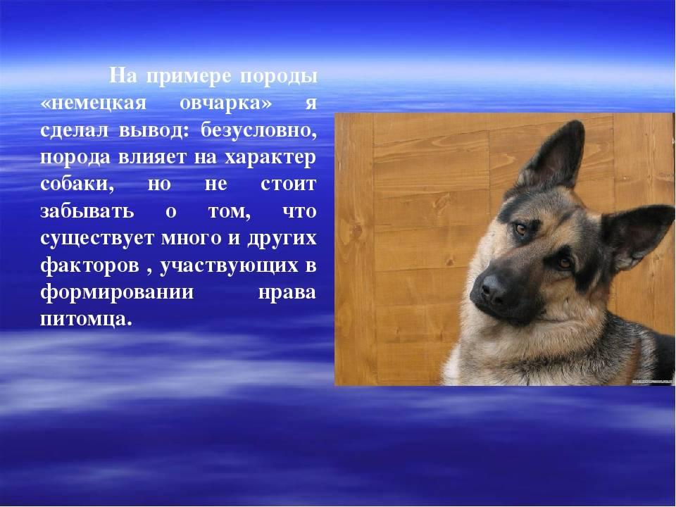 Московская сторожевая – собака не для всех. описание породы