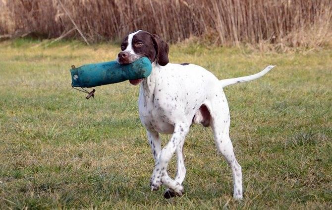 Пойнтер (английский пойнтер): фото и видео, характеристики, уход за собакой
