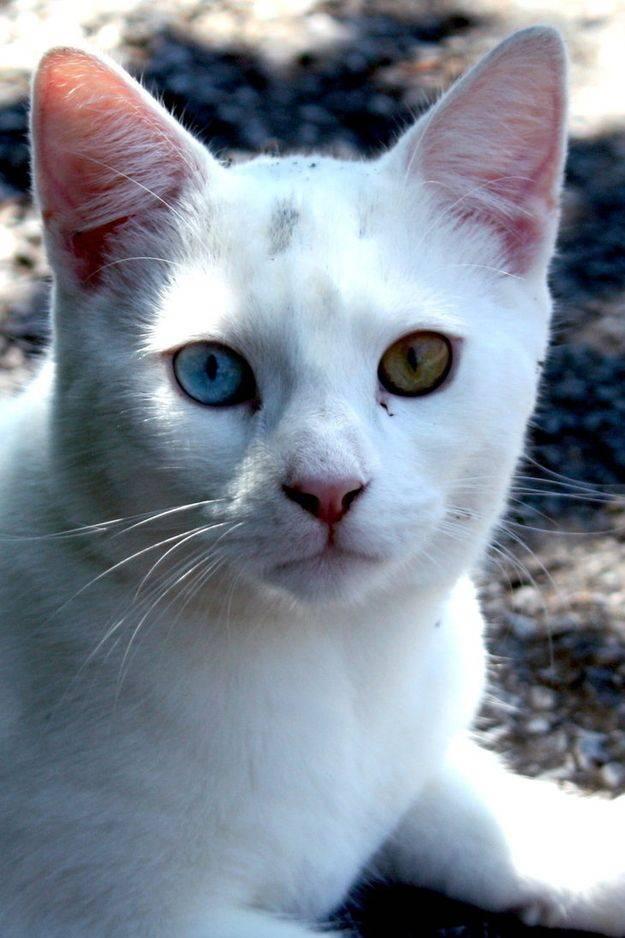 Кошки с голубыми глазами: названия пород, их описания и фото
