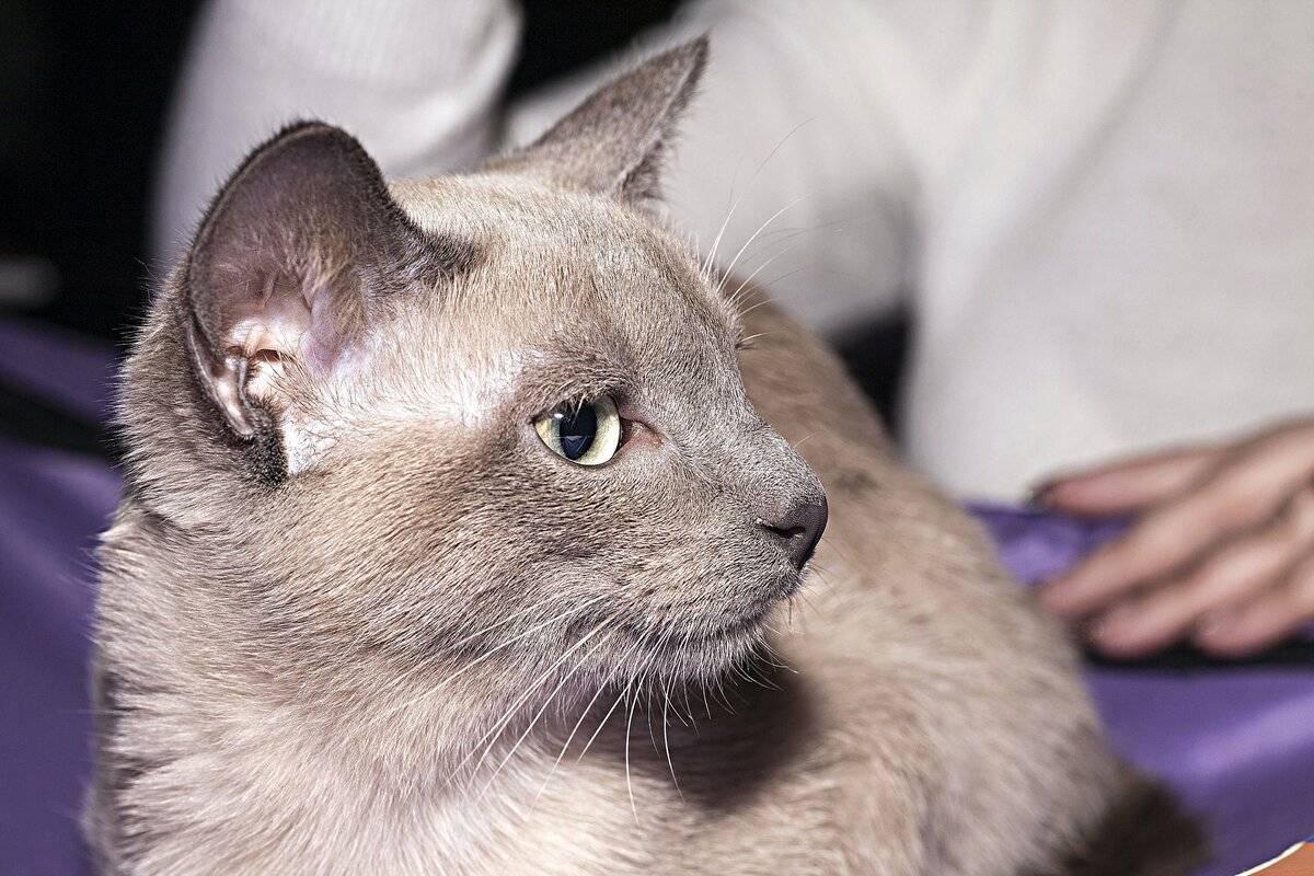 Оцикет кошка: описание породы, фото, характер