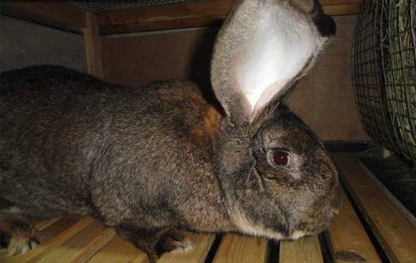 Кролики породы фландр: описание и внешний вид, особенности содержания и ухода, разведение