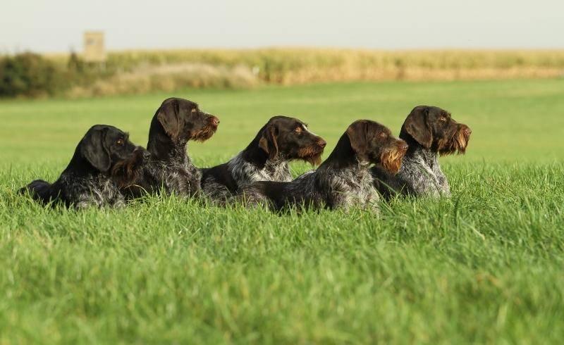 Лучшие норные собаки