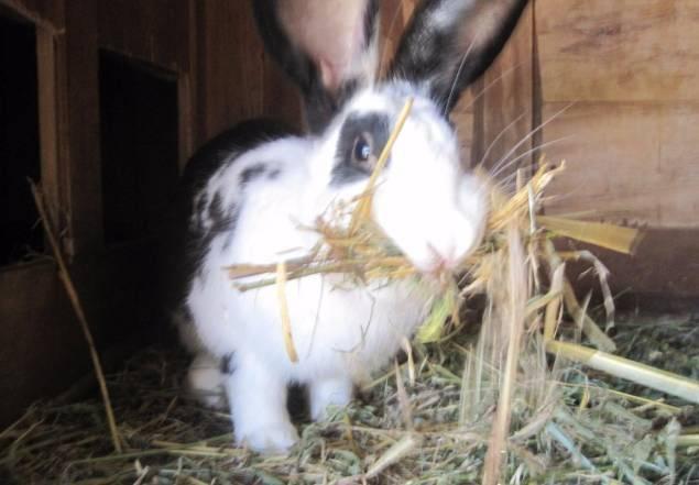 Почему крольчиха ведёт себя агрессивно: 7 основных причин