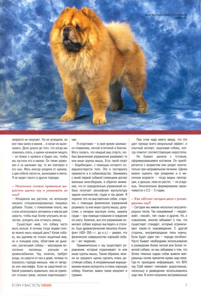 Порода собак чау-чау: описание, фото, характер, особенности содержания и ухода