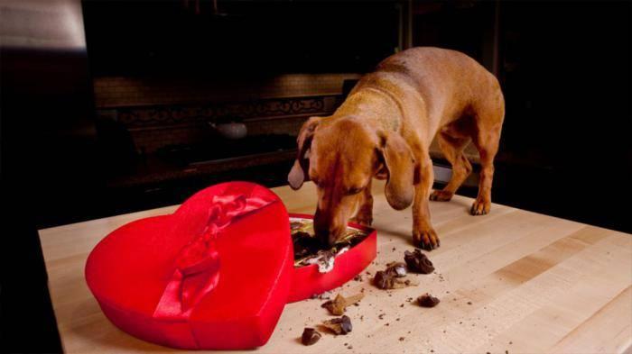 Почему собакам нельзя сладкое и шоколад: что делать, если собака наелась шоколада | inc | яндекс дзен