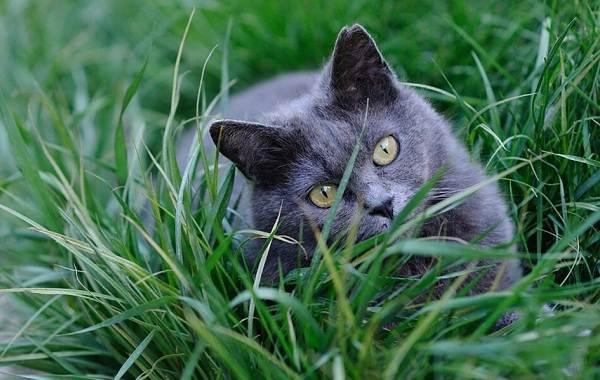 """Картезианская кошка, или кошка """"шартрез"""": все о породе"""