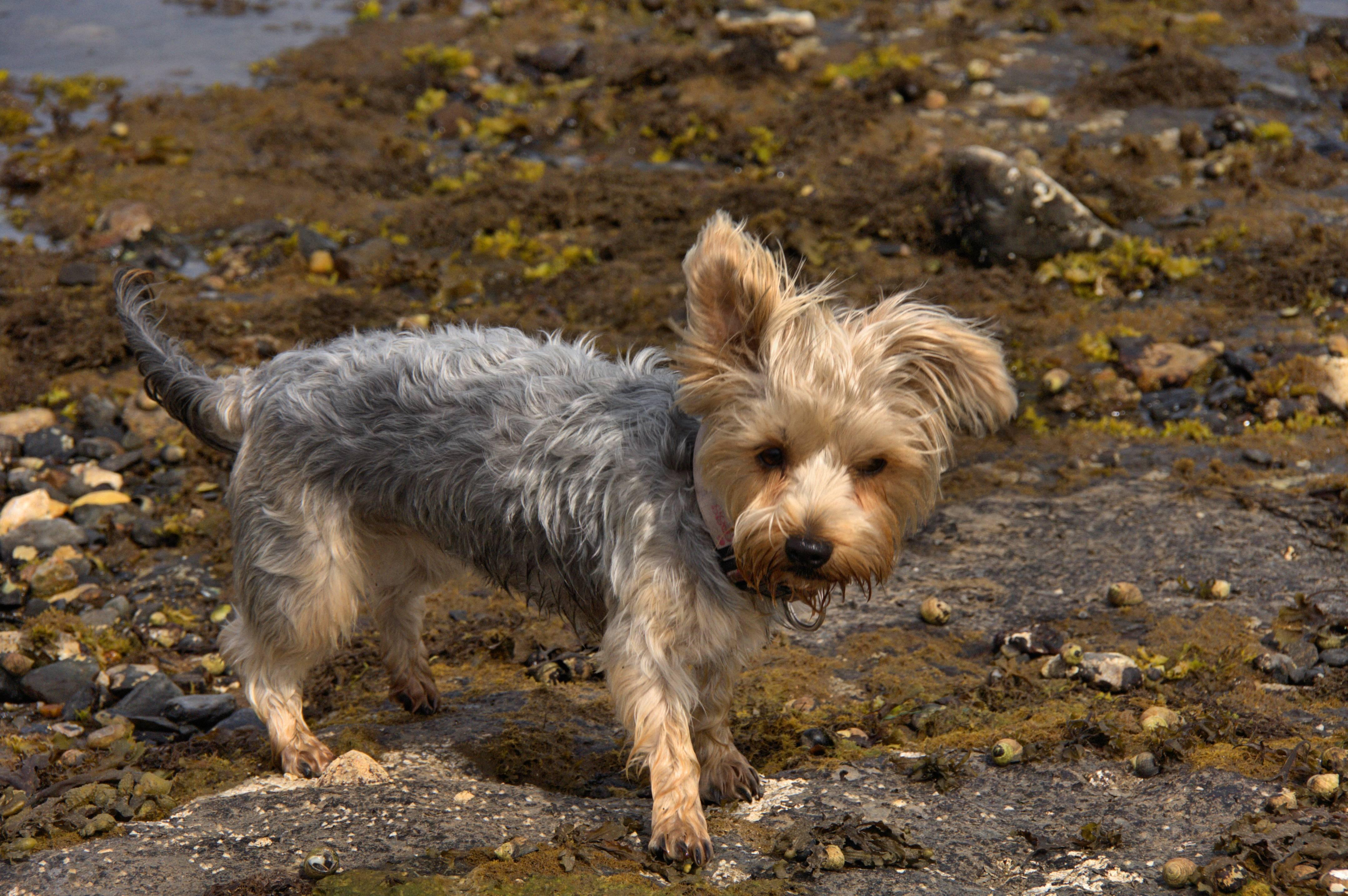 Австралийский шелковистый терьер: происхождение, описание и характер собаки
