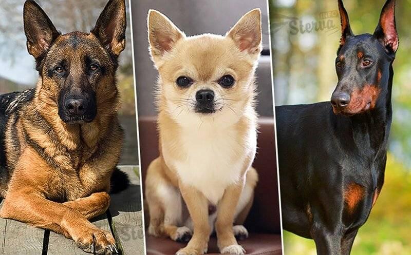 Курчавый пловец: португальская водяная собака