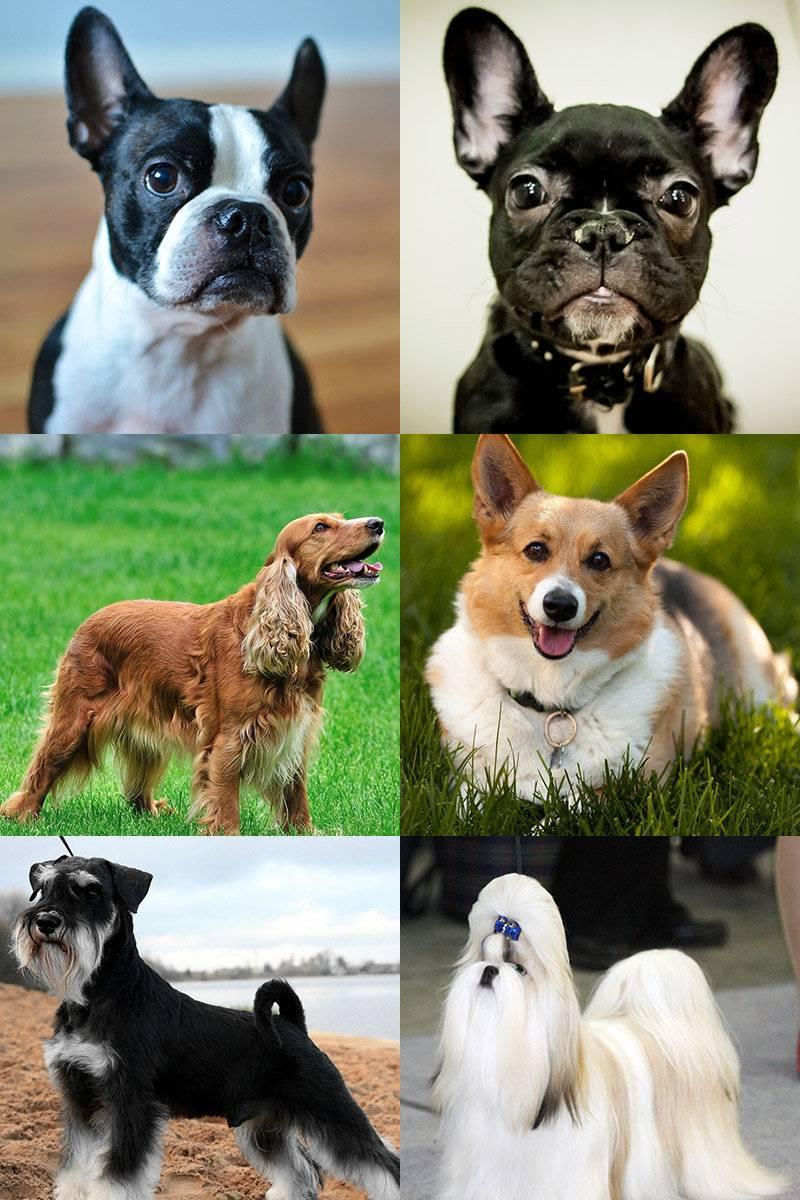 Маленькие породы собак – выберите своего питомца из «самых-самых»!