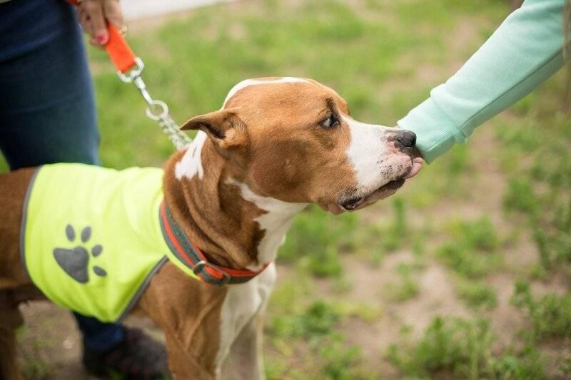 Дрессировка и воспитание щенка амстаффа: правила и схема обучения командам