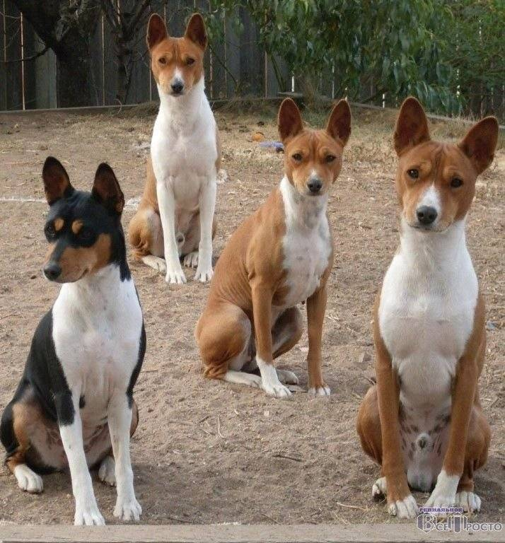 Басенджи: порода собак, которая не лает
