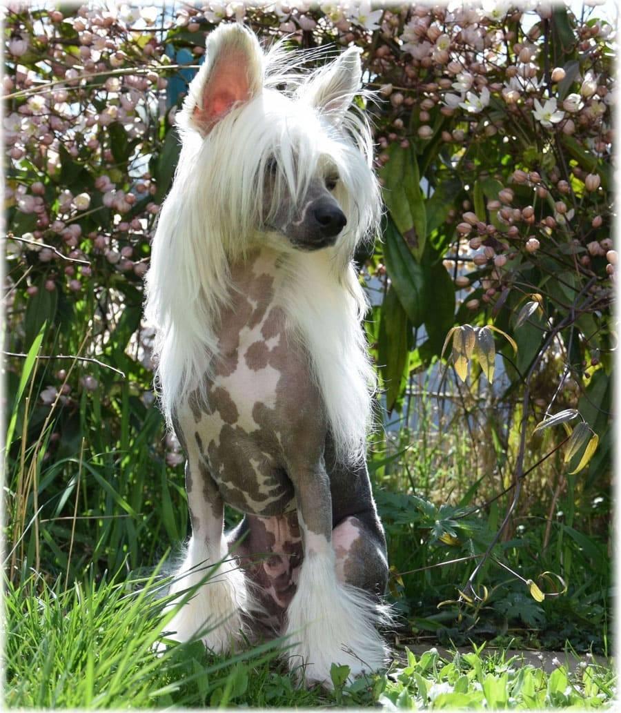 Китайская пуховая хохлатая — фото, особенности собак, уход за шерстью пуховок