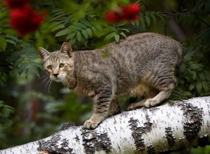 Кошка пиксибоб: история появления, стандарт, особенности ухода