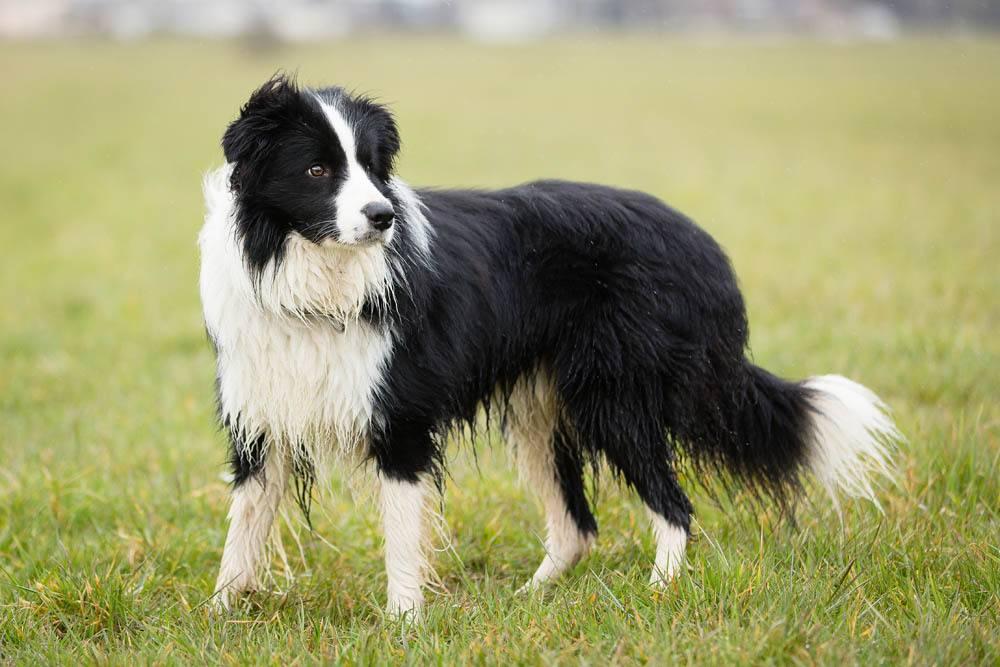 Шелти: все о собаке, фото, описание породы, характер, цена