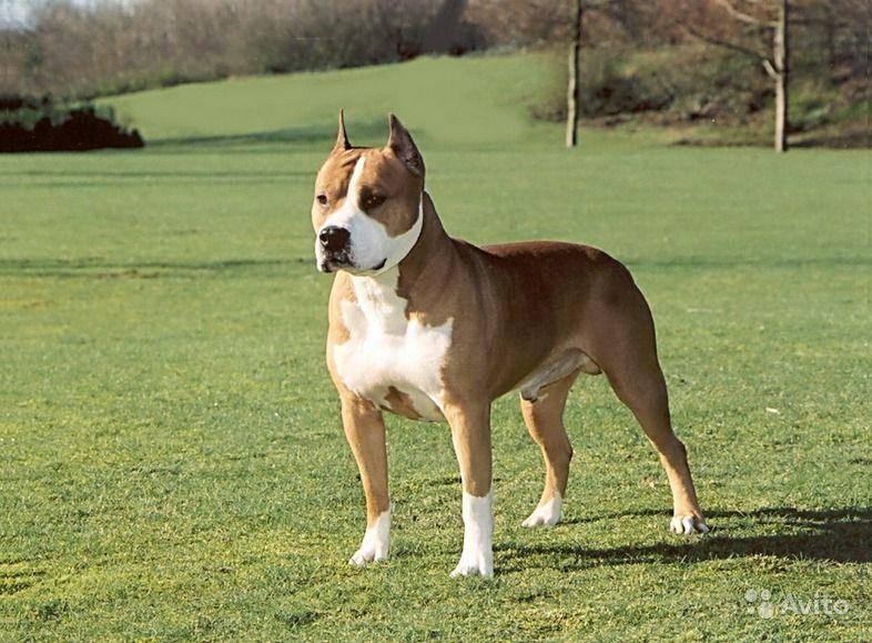 Порода собак стаффордширский терьер и ее характеристики с фото