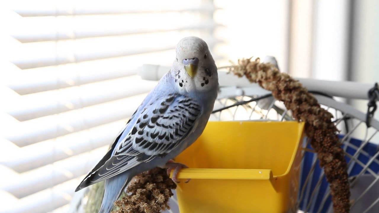 Способы обучения разговору попугаев: в каком возрасте начинать, советы по обучению и ответы на частые вопросы
