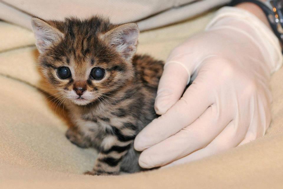 Самые маленькие породы кошек и котов