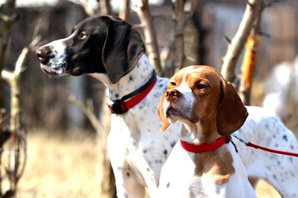 Пойнтер собака. описание, особенности, уход и цена пойнтера | животный мир