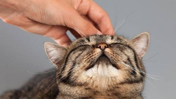 Почему кошки мурлыкают? причины, фото и видео
