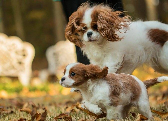 Как выглядит кавалер-чарльз-кинг-спаниель: особенности характера питомца и как правильно выбрать щенка + отзывы владельцев