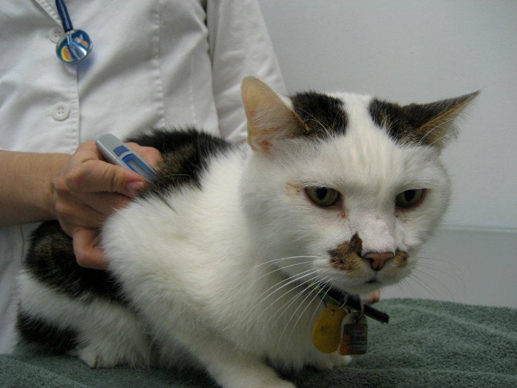 Как определить обезвоживание у кошки: симптомы и что можно сделать