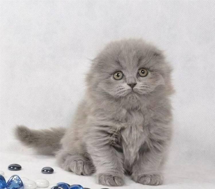 Хайленд-фолд – очаровательная вислоухая кошка с длинной шубкой родом из шотландии