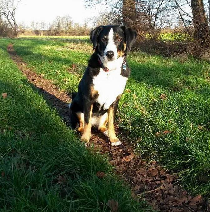 Аппенцеллер зенненхунд (аппенцелльская пастушья собака): фото, купить, видео, цена, содержание дома