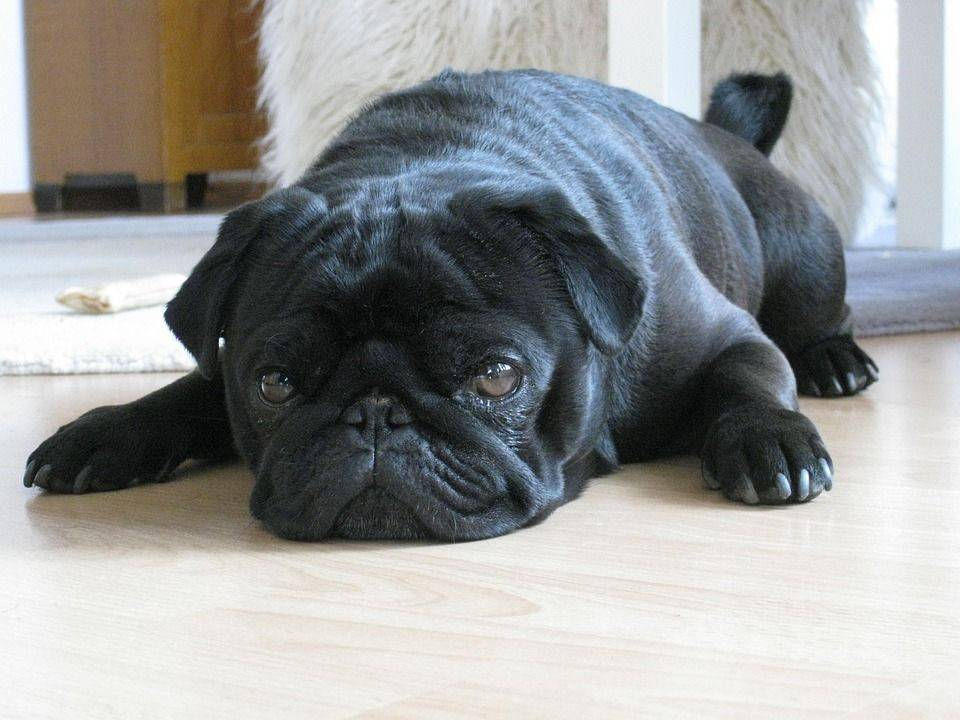 Мопс ? фото, описание, характер, факты, плюсы, минусы собаки ✔