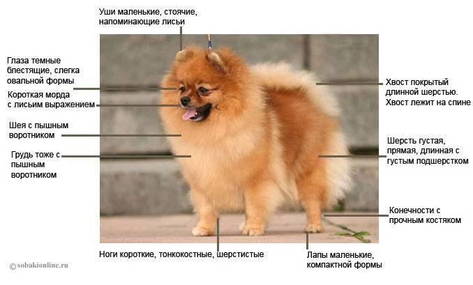 Как выглядят щенки померанского шпица: развитие питомцев до года и как правильно ухаживать