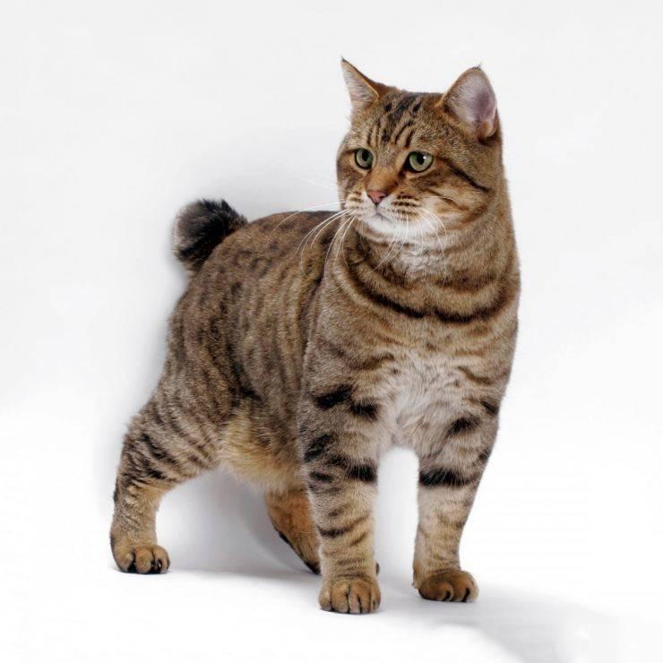 Американский бобтейл: описание породы, содержание и уход, разведение, отзывы владельцев, фото котов