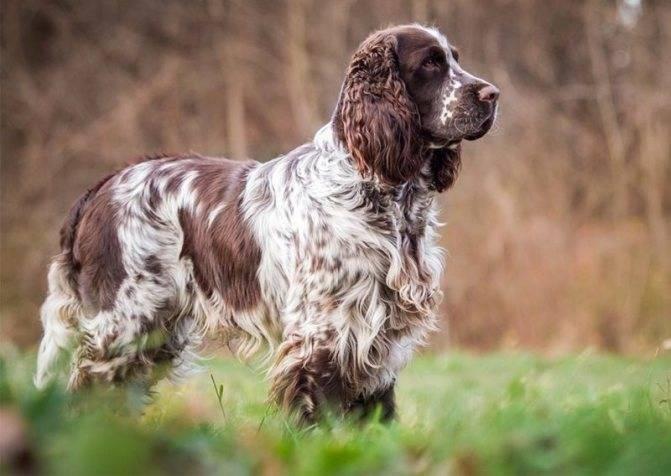 Ирландский сеттер: характеристика породы, окрас, заболевания, стоимость, фото взрослых собак и щенков
