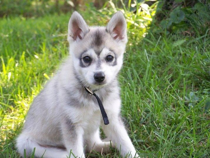 Аляскинский кли-кай, или мини хаски ⋆ собакапедия