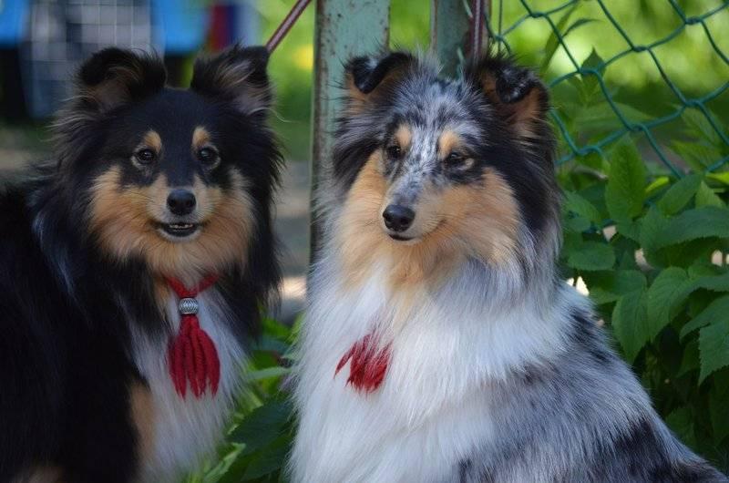 Описываются отличительные характеристики собак шелти от породы колли