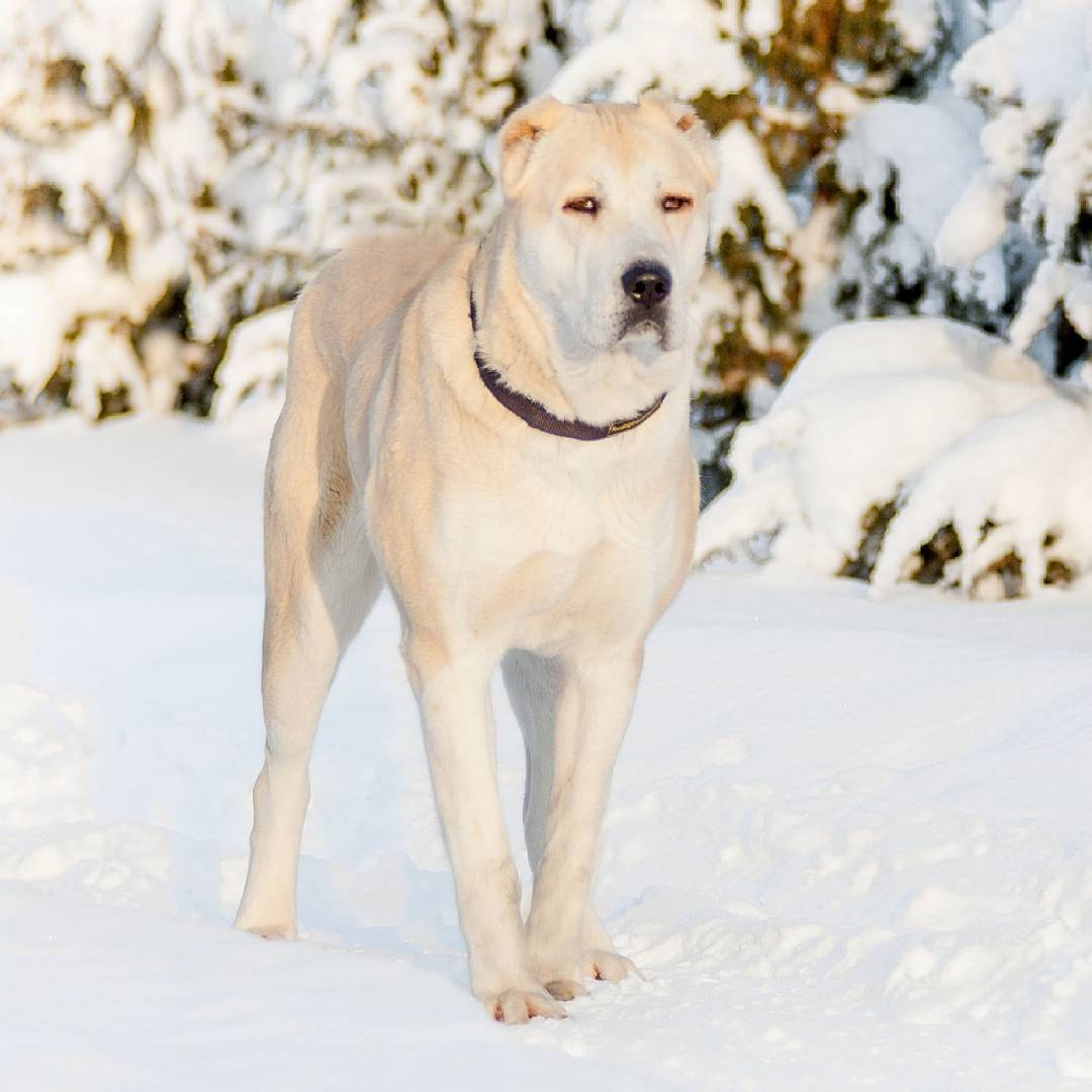 Как назвать маламута: список красивых имен для собак мальчиков и девочек.